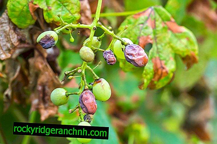 Why grape berry blackens