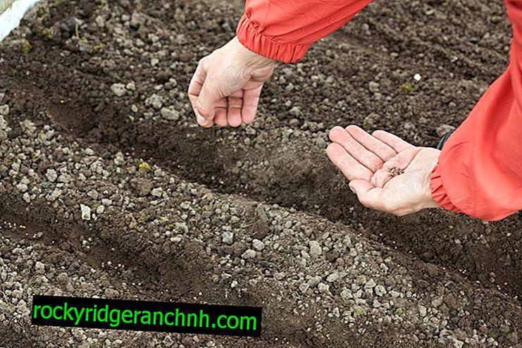 Как да сеем моркови в открито поле през пролетта