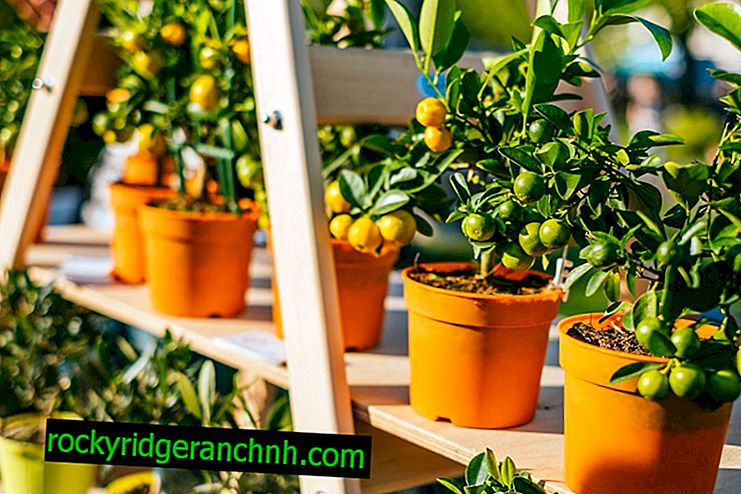 Proper care of tangerine tree at home