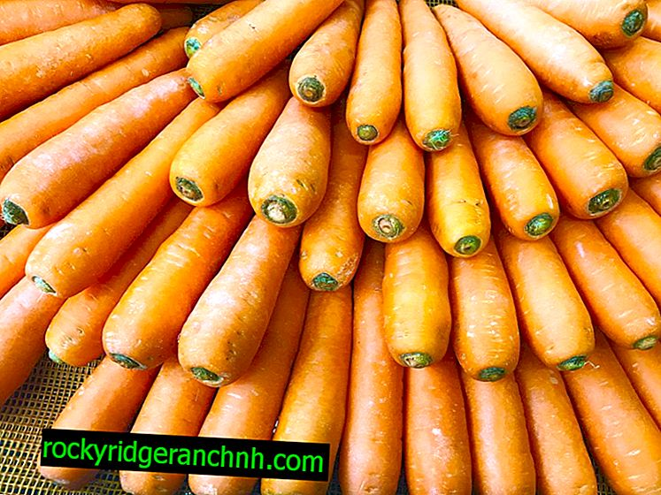 Характеристика моркви Абако
