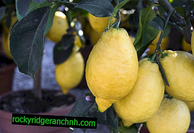 Büyüyen Yeni Zelanda Limonu