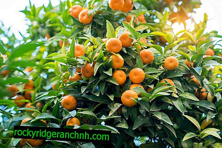 Pěstování mandarinky Unshiu