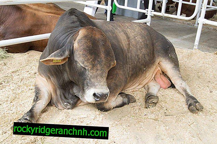 Kost og ernæringsregler for tyren