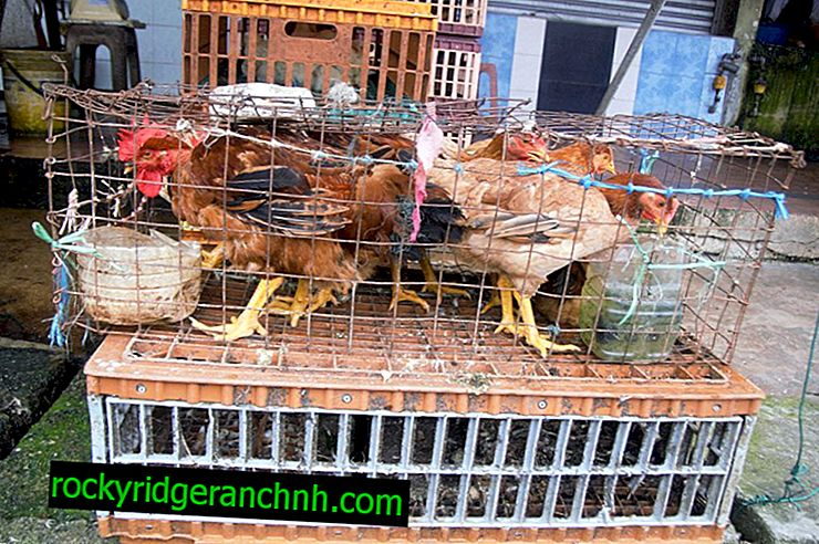 Как да изградите ограждение за пиле със собствените си ръце