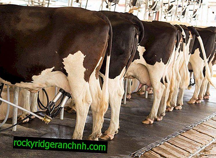 Причини стрептодермії у корів