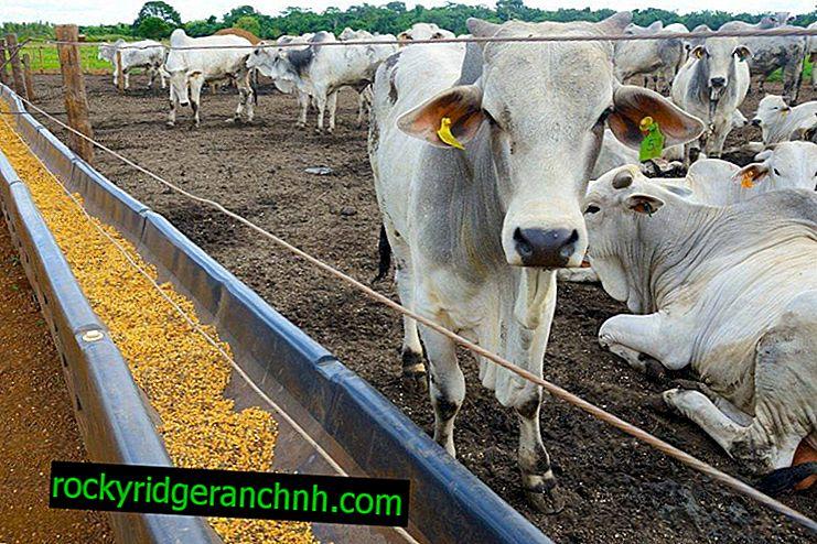 Izbira krme za govedo