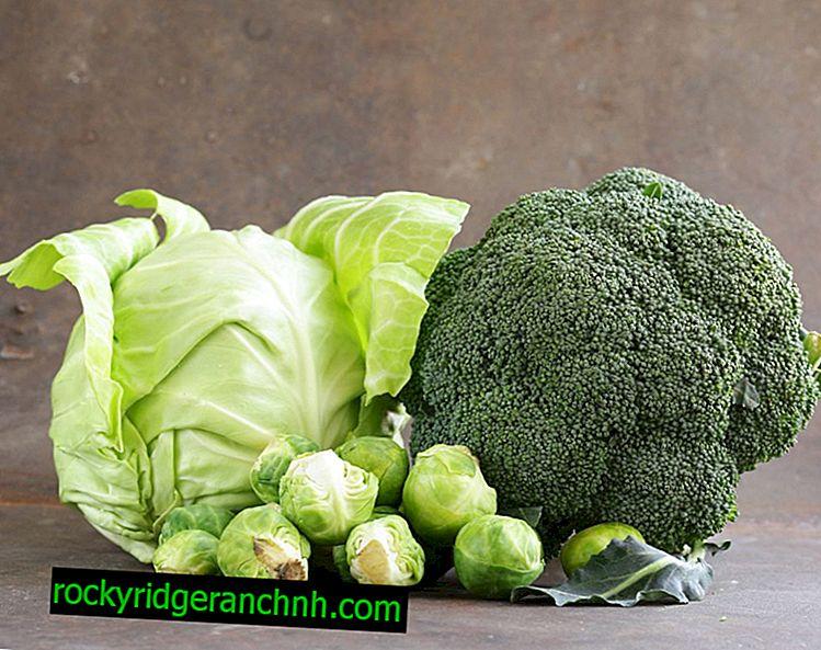 Dyrkningskål Broccoli Fiesta