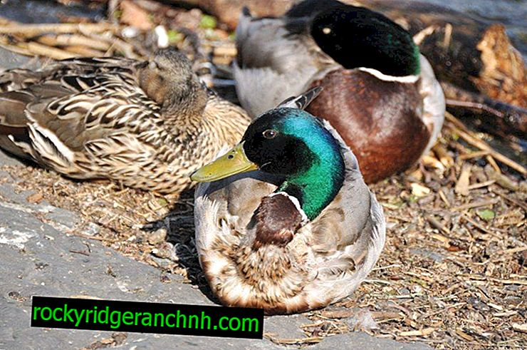 Popular types of ducks