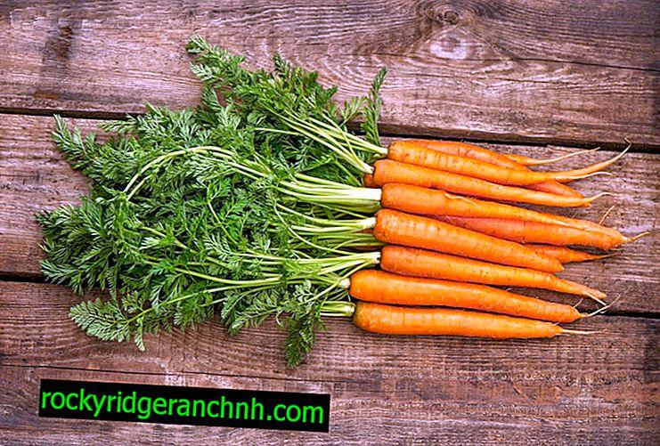 Fatos interessantes sobre cenouras