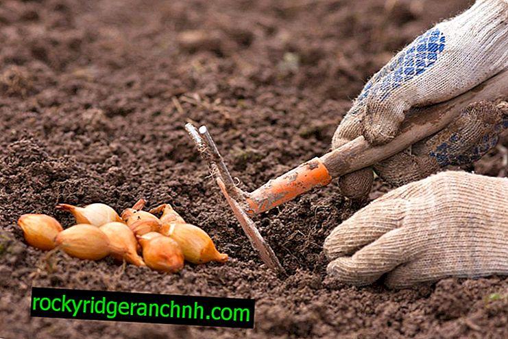 Regeln für das Anpflanzen von Zwiebelsätzen im Freiland