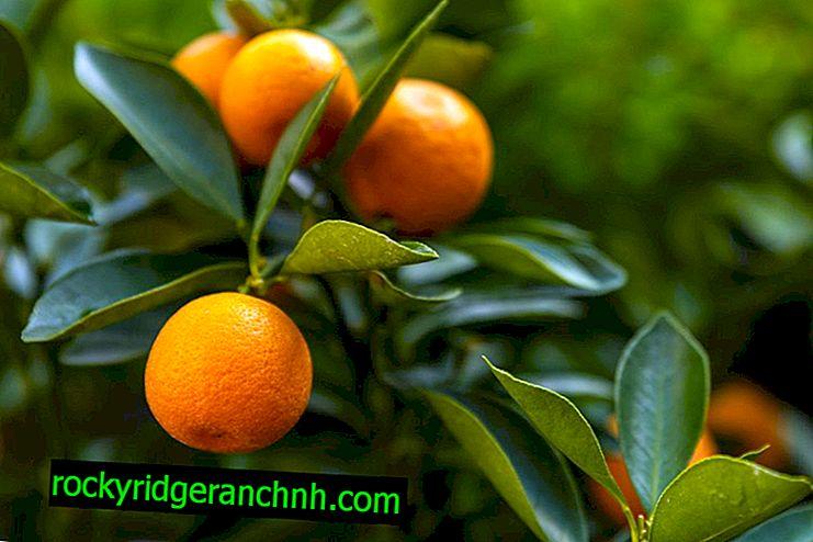 Kako hraniti citruse kod kuće