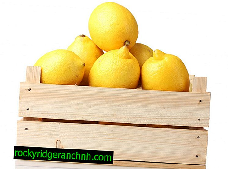 Lemon storage at home