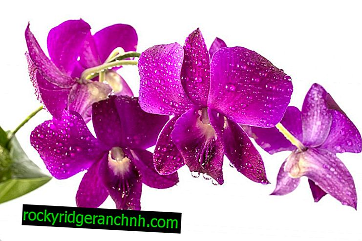 Rules for growing orchids Dendrobium
