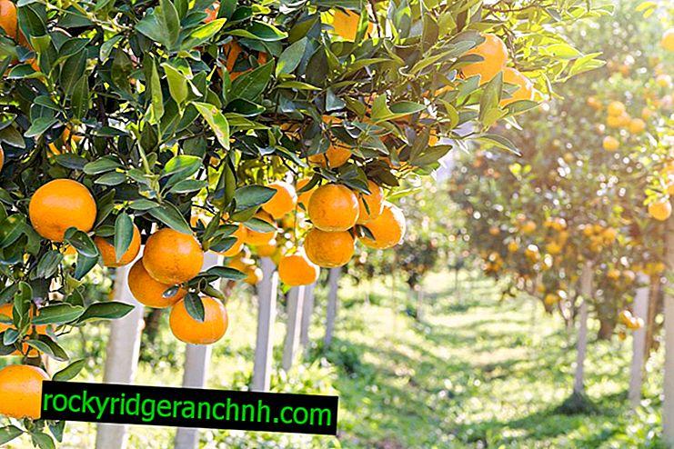 Portakal Çeşitleri