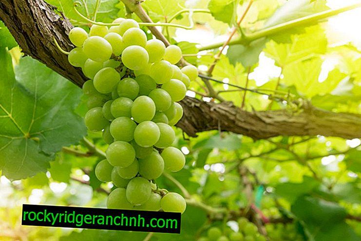 Descrizione del produttore di varietà di uva
