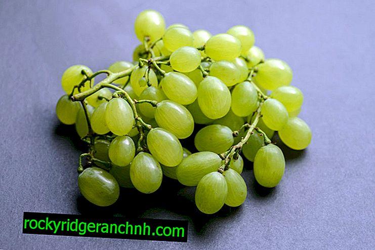 Отглеждане на грозде Дария