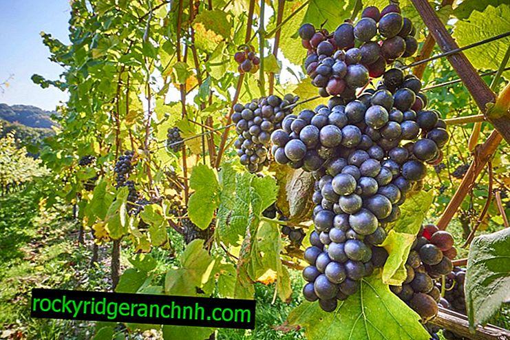 Description of Augusta grape variety