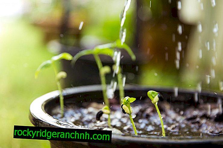 Fertilizar berenjenas, pimientos y tomates con Agricola 3