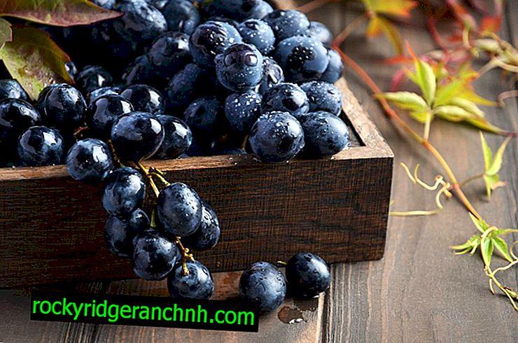 Soorten zwarte druiven