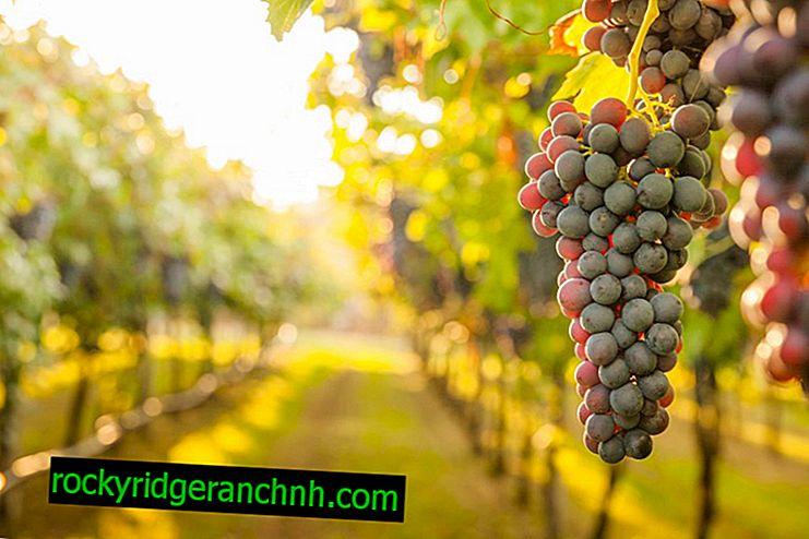 Uzgoj grožđa u predgrađima