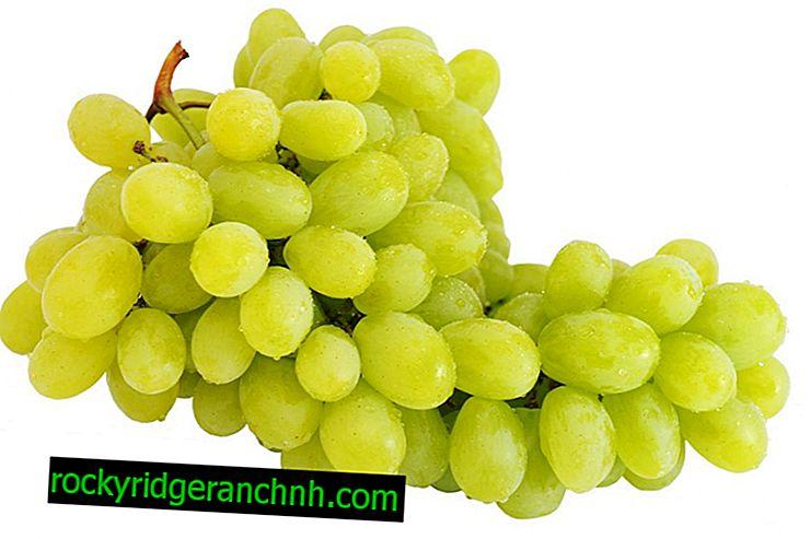 Charakterystyka winogron Magaracha Citron