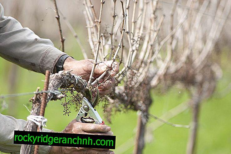 Средна резитба на грозде