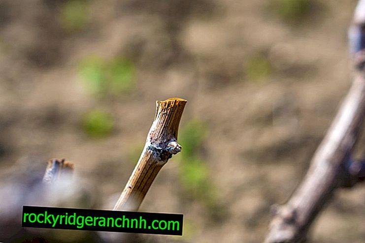 De technologie van het planten van druivenstekken zonder wortels