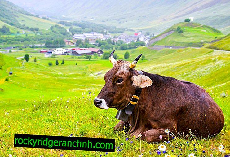 Какво определя продължителността на живота на домашна крава