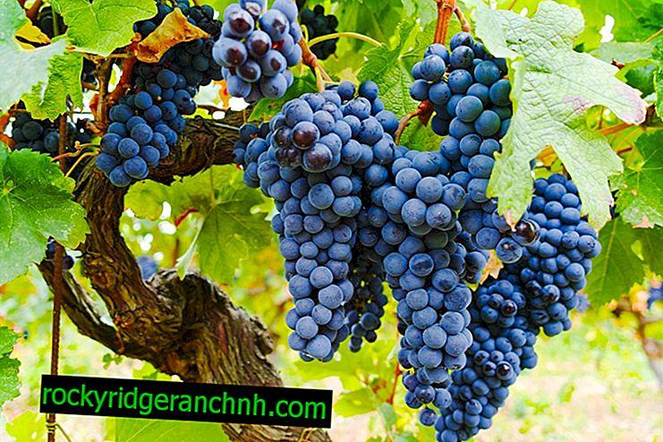 Isabella zwarte druiven