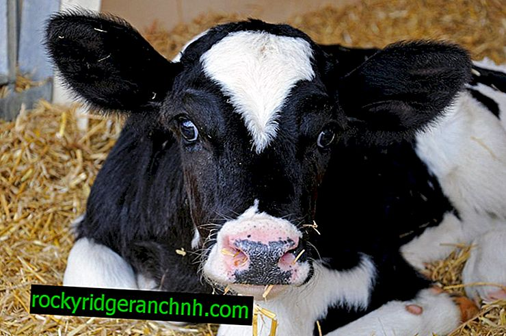 Bronchopneumonia in calves