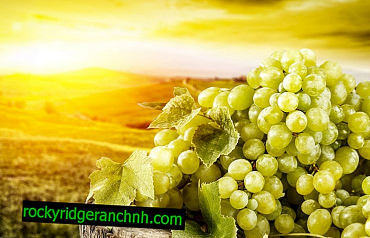 Užitečné vlastnosti zelených hroznů