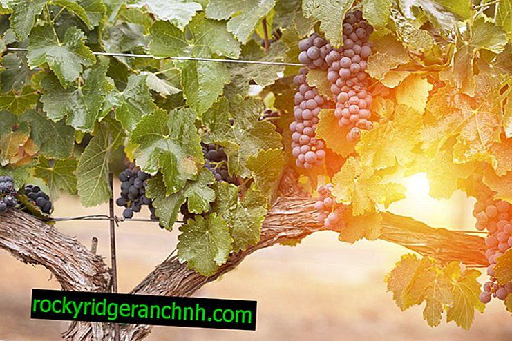 Zalivanje grozdja jeseni
