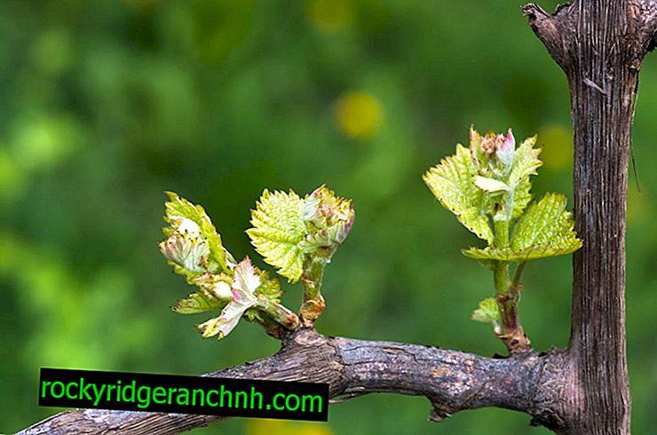 Сучок заміщення на винограді
