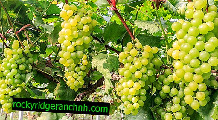 Описание на зеленото грозде Kishmish