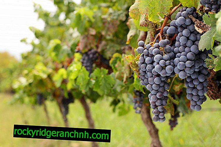 Las mejores variedades técnicas de uva