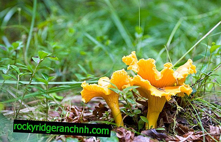 Os benefícios e malefícios dos cogumelos chanterelle