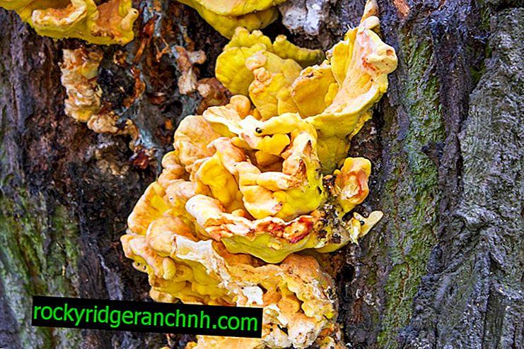 Tinder fungus picking