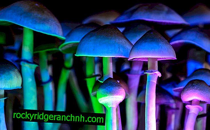 The phenomenon of luminous mushrooms