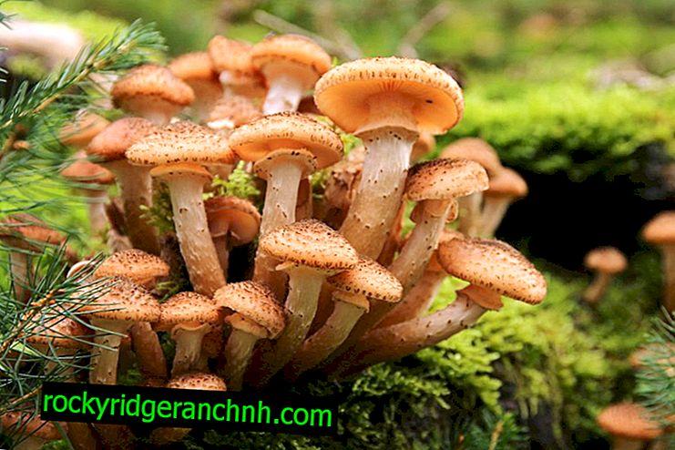 Quanto tempo os cogumelos crescem