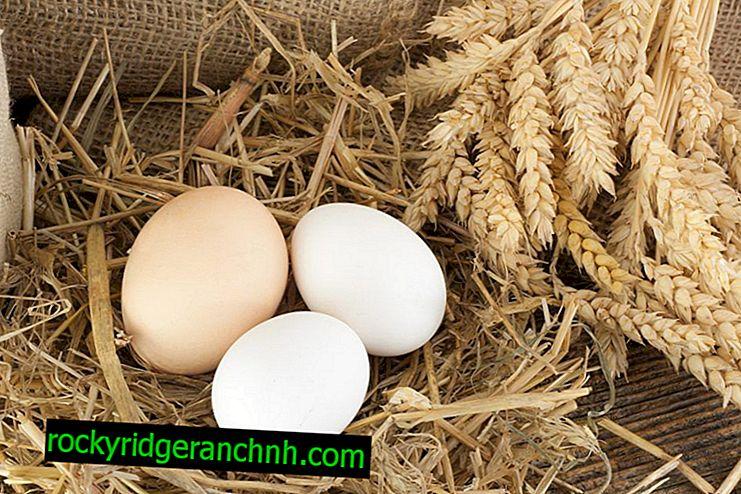 Zakaj piščanec nosi jajca brez školjk