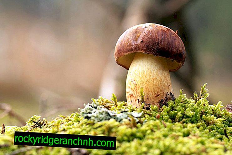 Hvilke svampe vokser i oktober