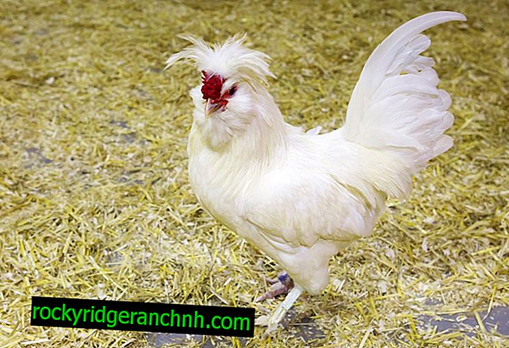 Чести и редки породи пилета