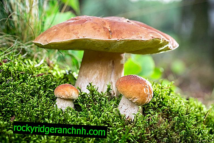 What is mushroom mushroom