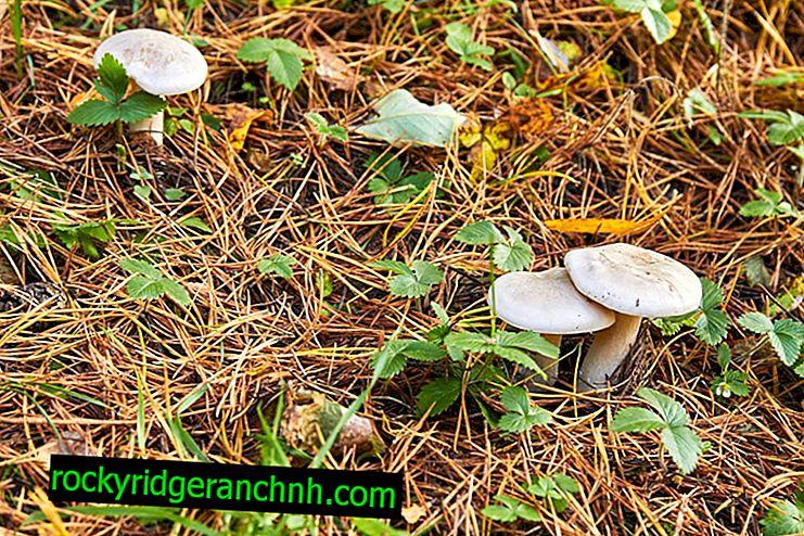 Smoky Mushroom Mushroom: Beschrijving