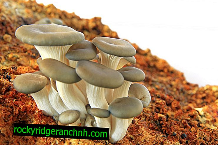 Full description of oyster mushrooms