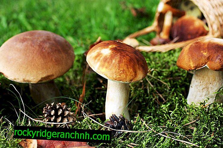 Types of mushrooms of Karelia