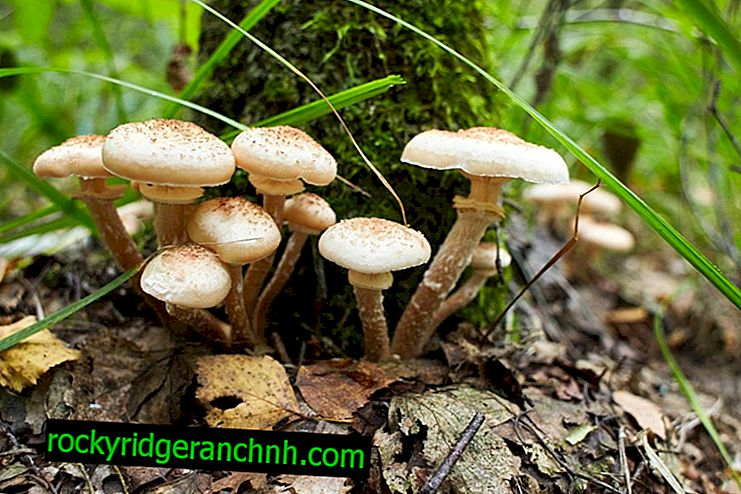 Vrste medenih gob v regiji Lipetsk