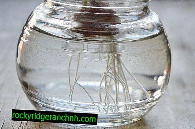 Prinsippet om å dyrke løk ved hjelp av hydroponics