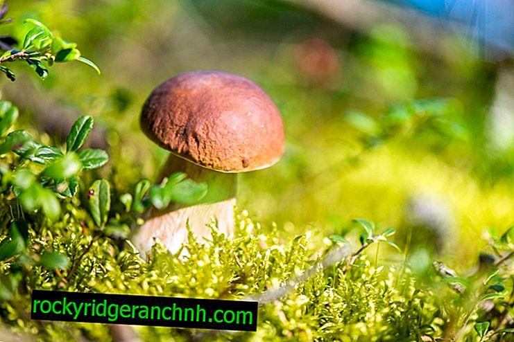 Welke paddenstoelen kunnen worden verzameld in het Trans-Baikal-gebied
