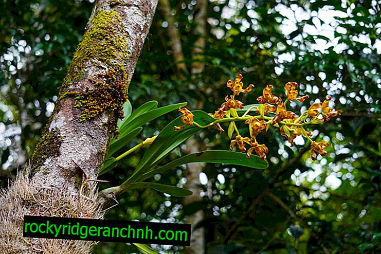About orchids in equatorial forests